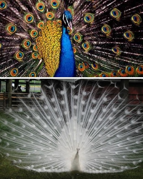 white-and-blue-peacock