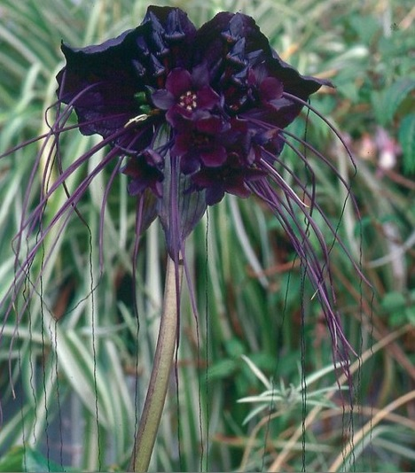 black-bat-flower