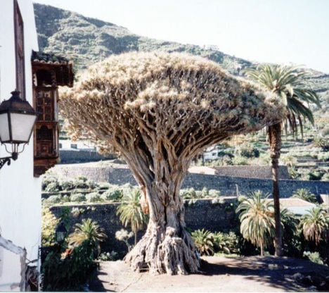 dragon-tree