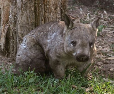 hairy-nosed-wombat