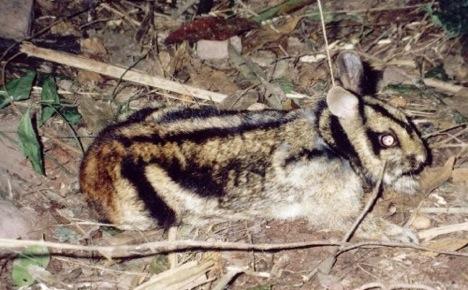 striped-rabbit