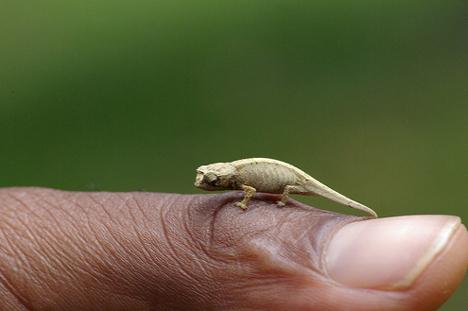 brookesia-chameleon