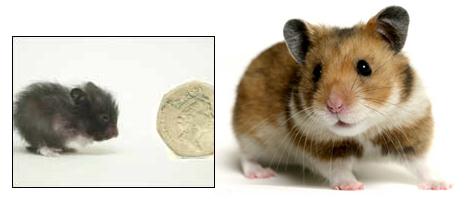 peewee-hamster