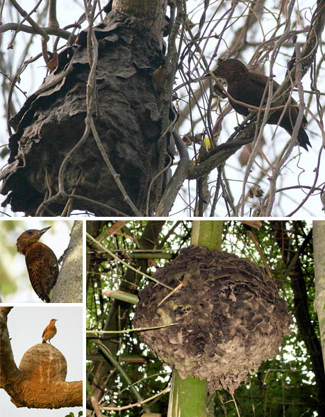 roufus-woodpecker-black-tree-ant-symbiosis