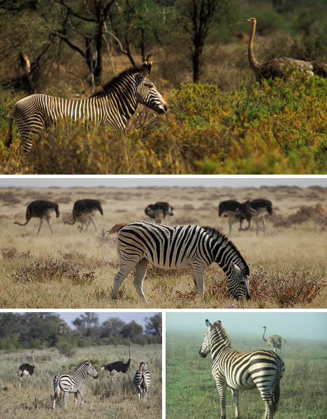 zebra-ostrich-symbiosis