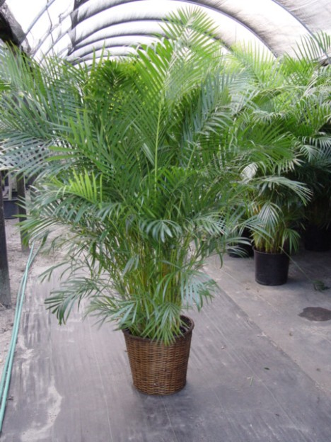 areca-palm-468-x-6241