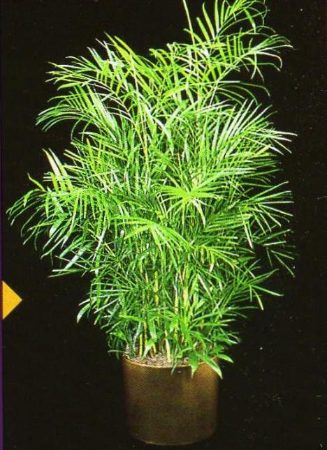 bamboopalm2-468-x-645