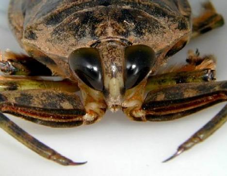 Giant Water Bugs