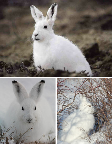 arctic-animals-hare