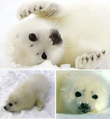 arctic-animals-harp-seal
