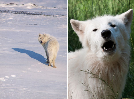 arctic-animals-wolf-2