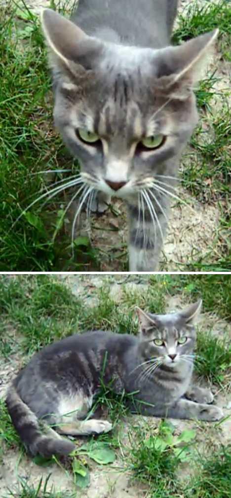 The Brazilian Shorthair Cat: Ship To Shore To Home