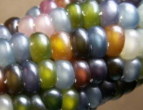 Oh My Cob! 7 Amazing Colorful Corn Varieties