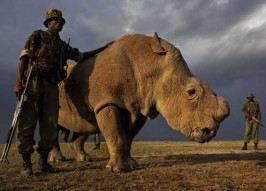 World's Last Northern White Rhino Guarded 24/7