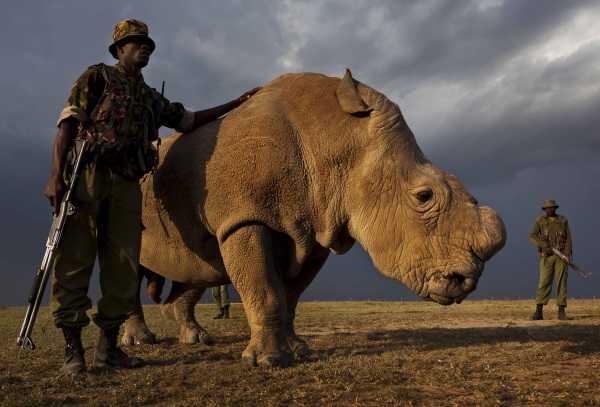 Last White Rhino 14