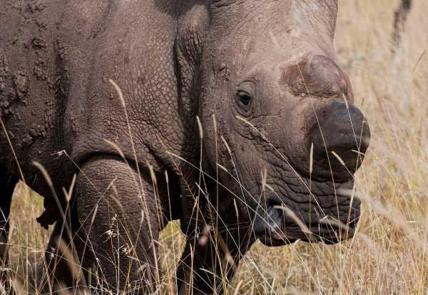 Last White Rhino 8