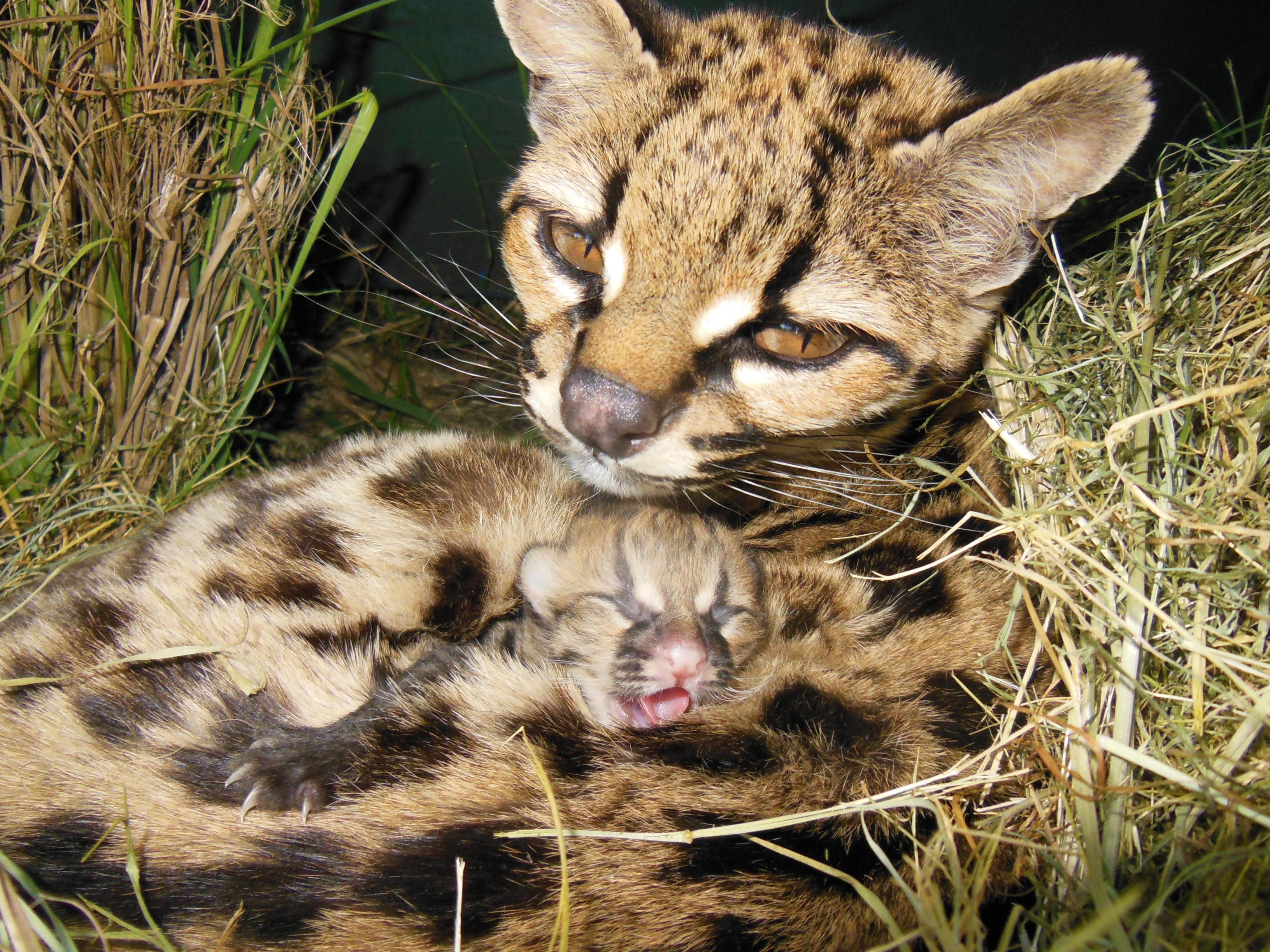 Rare Margay Kitten Born in Uruguay