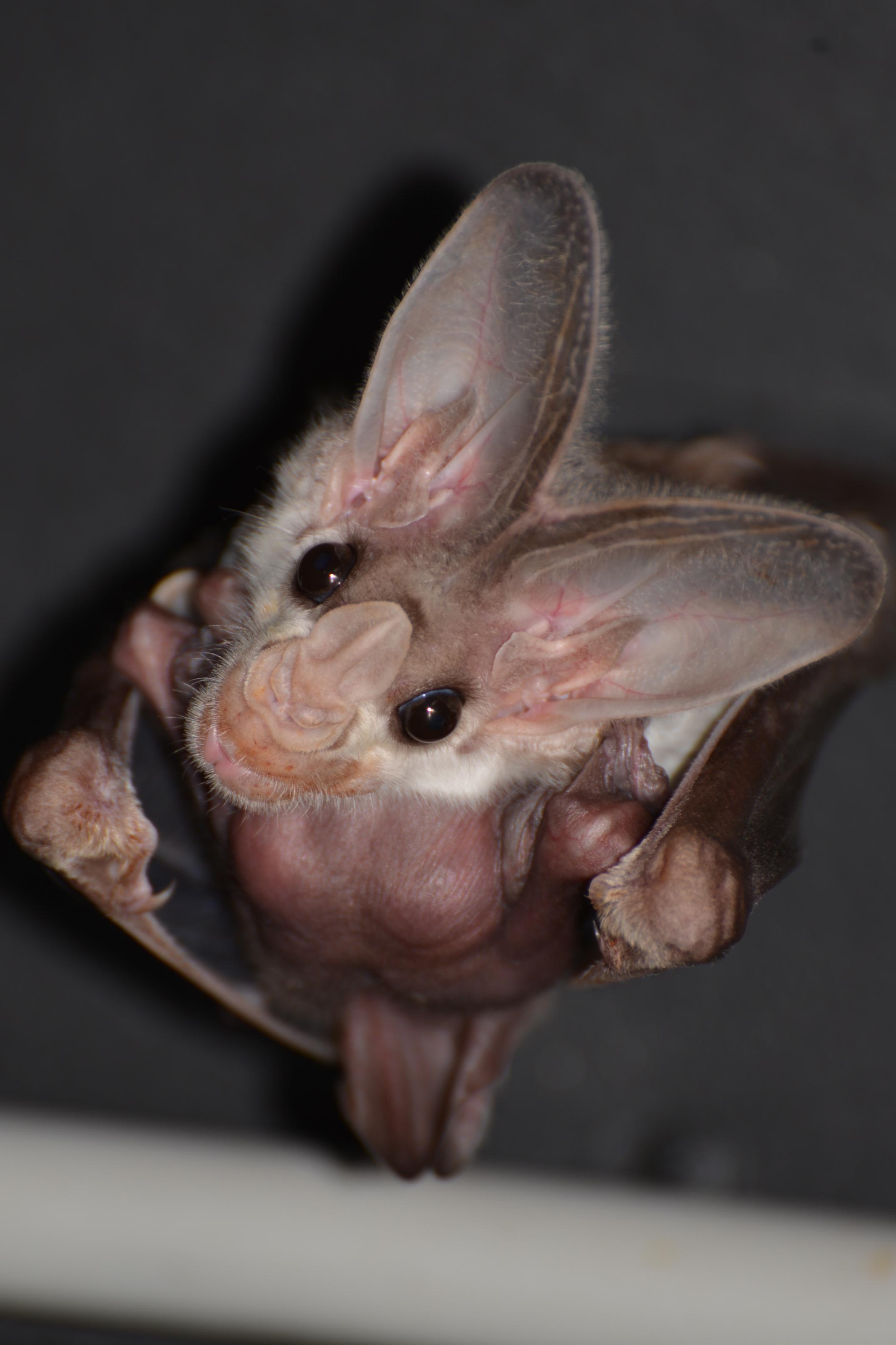 Ghost Bat Birth
