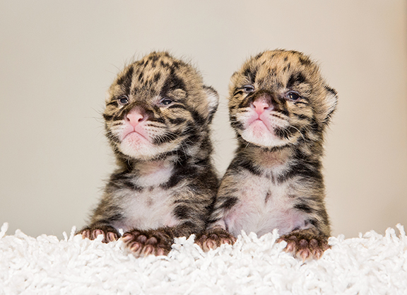 Nashville Zoo Welcomes Two Clouded Leopard Births