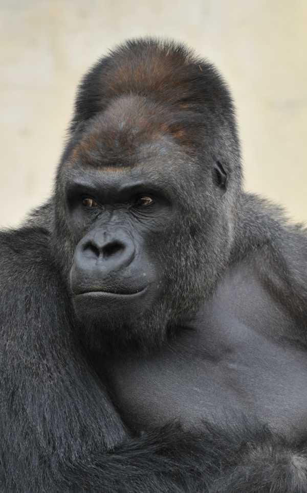 handsome-gorilla-3