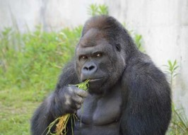 Meet Shabani, Japan's Most Handsome Gorilla