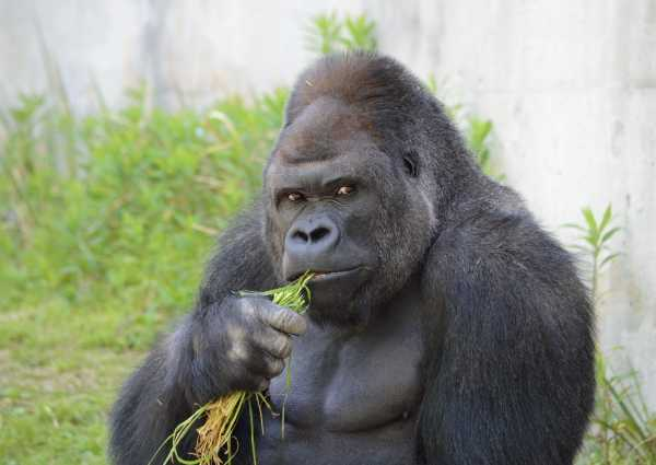 handsome-gorilla-5