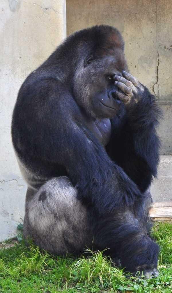 handsome-gorilla-7