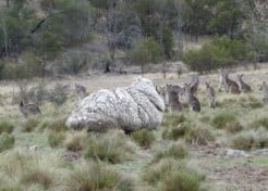 Mammoth Woolly: Fleeciest Sheep Gets Sheared