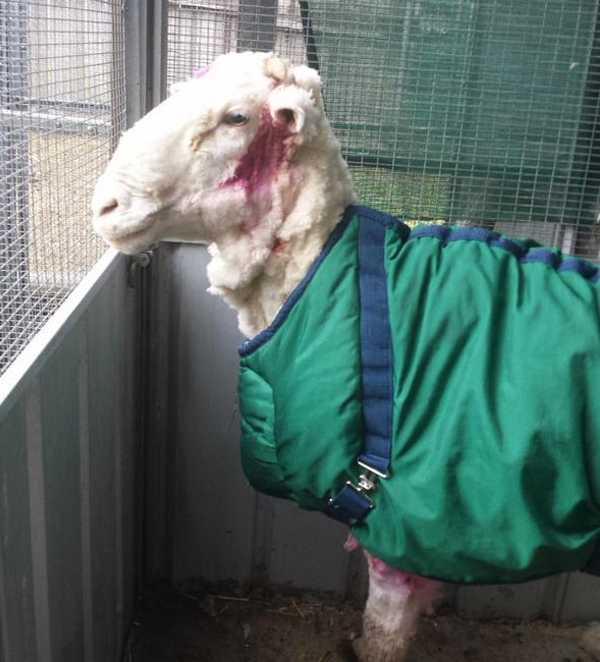 chris-the-sheep-16