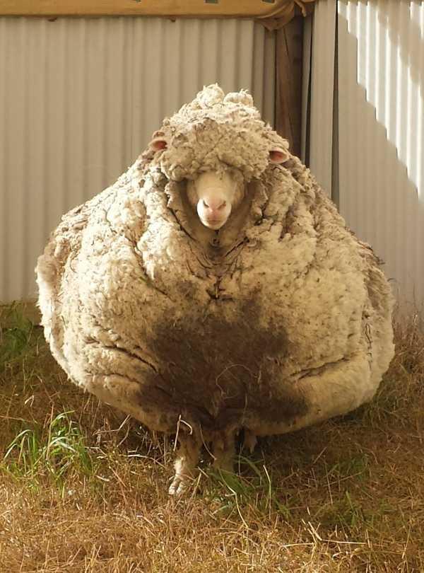 chris-the-sheep-2