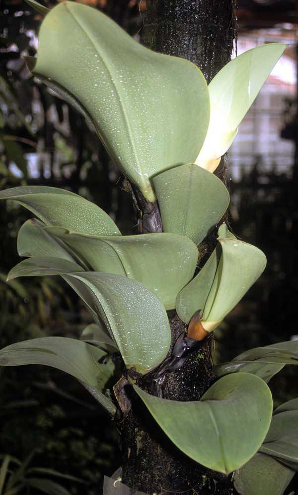 bulbophyllum-beccarii-orchid