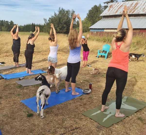 goat-yoga-3a