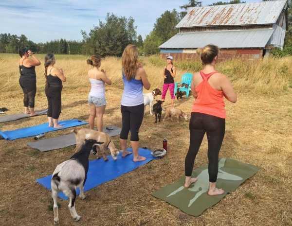 goat-yoga-3b
