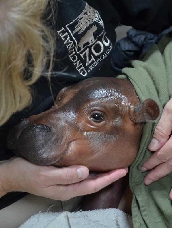 baby-hippo-2
