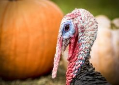 Great Gobblers: 7 Amazing Heritage Turkeys