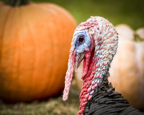 Great Old Gobblers: 8 Amazing Heritage Turkeys